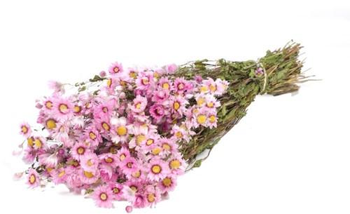 Rodanthe naturel Pink bundel. droogbloemen